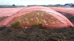 赤色防虫ネット、無農薬で野菜が育ちます。